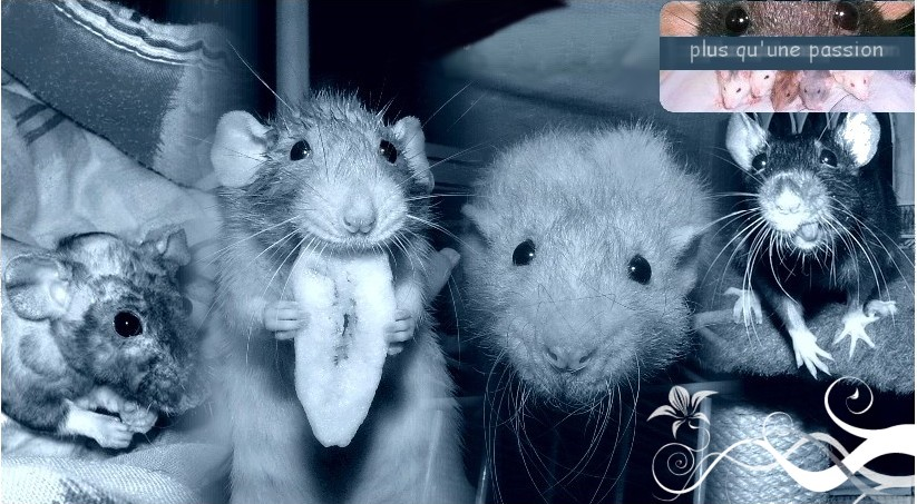 Histoire de rats Index