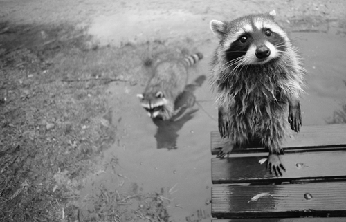 Raccoon Invaders Index du Forum
