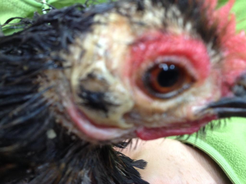 Nos amours de plumes et de poils quelles maladies for Maladie poules perte plumes