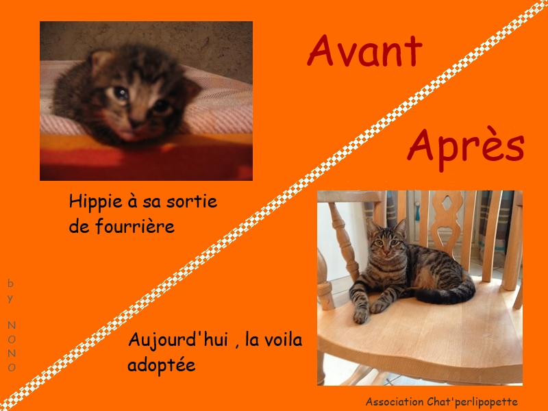 Les avants/après des chats adoptés ou en FA définitive Hippie-3bb7991