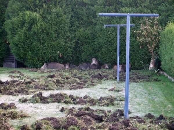 Le forum chasse et chien sangliers dans le jardin for Taupe dans le jardin