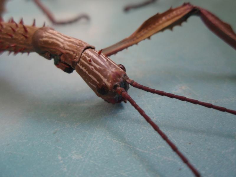 Achrioptera fallax PSG n°??? Pa122554-419625c