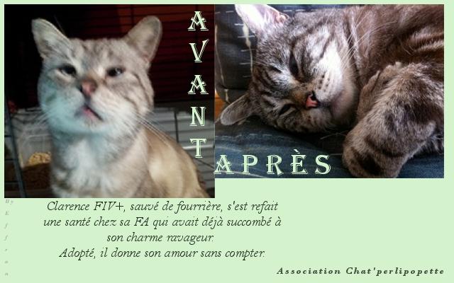Les avants/après des chats adoptés ou en FA définitive Clarence-3fc1d9a