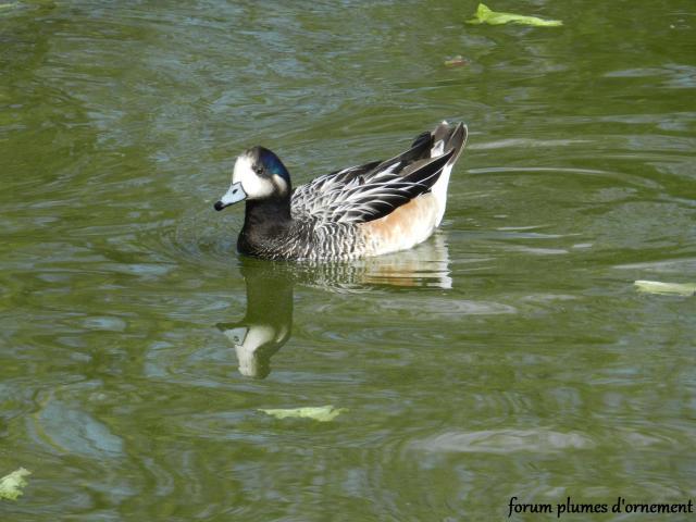 Forum plumes d 39 ornement le siffleur du chili anas sibilatrix - Bassin canard d ornement pau ...
