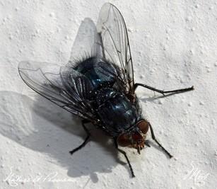 Compil .... les mouches par M64  23 novembre 2013 Img_9249-424ce0f