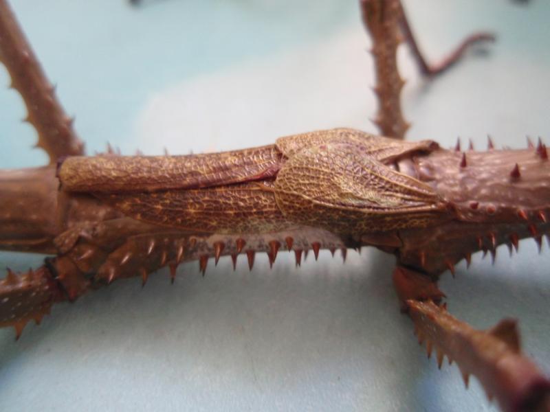 Achrioptera fallax PSG n°??? Pa122550-419628d