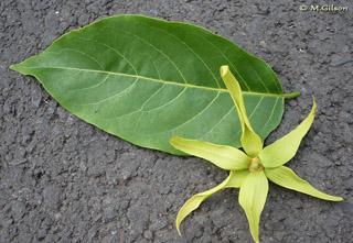 Le monde de mathusa l ylang ylang for Plante ylang ylang