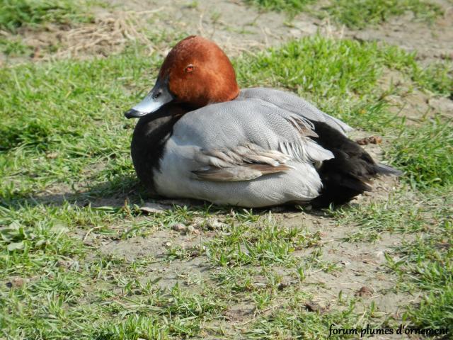 Forum plumes d 39 ornement le fuligule milouin aythya ferina - Bassin canard d ornement pau ...