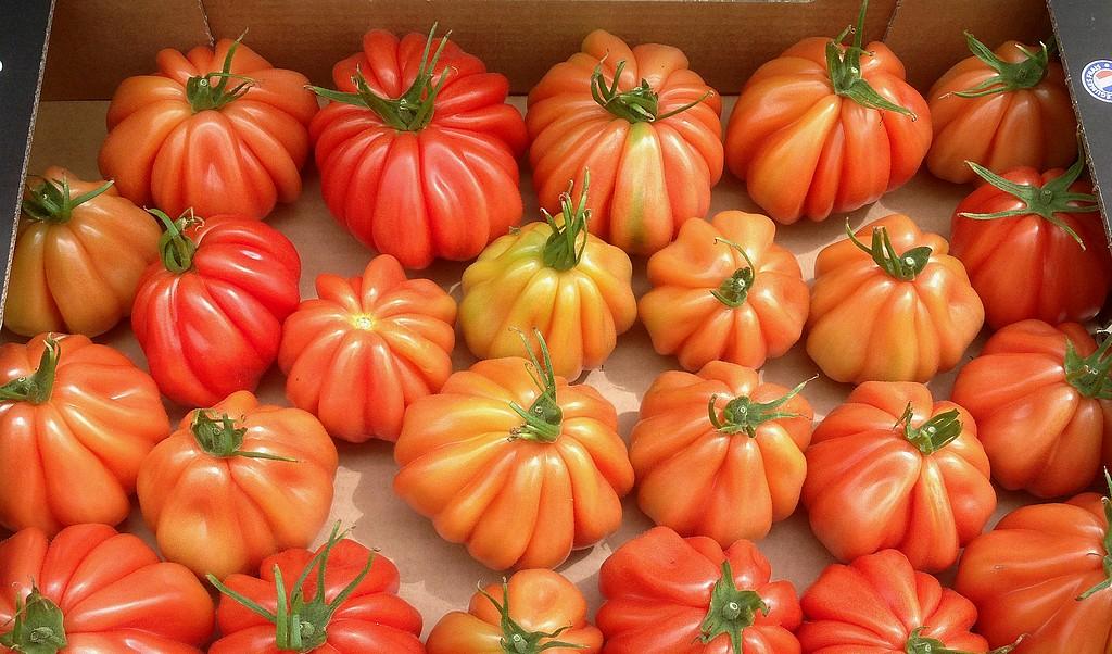 parties de p che sorties photo culture de tomate tomate coeur de boeuf. Black Bedroom Furniture Sets. Home Design Ideas