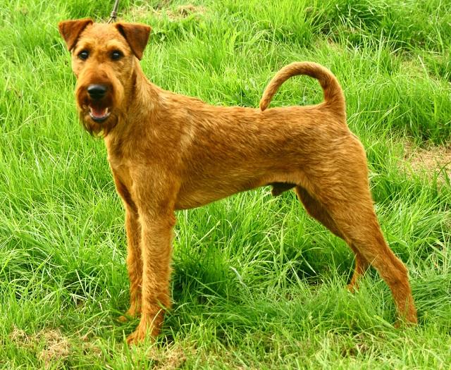 Le Forum Chasse et Chien :: Le standard de lIrish Terrier