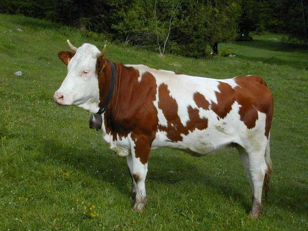 Forum mod lisme ferroviaire du tr gor vaches en ho - Vache normande dessin ...