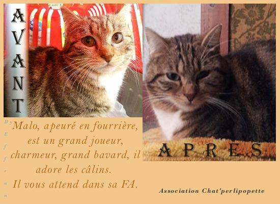 Les avants/après des chats à l'adoption Malo-3f2bce5