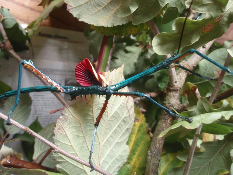 Achrioptera fallax PSG n°??? Pa192581-41961ed