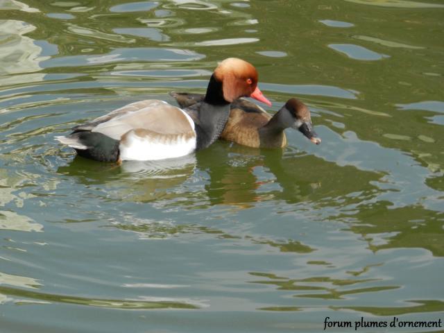 Forum plumes d 39 ornement la parade l 39 accouplement du nette rousse - Bassin canard d ornement pau ...