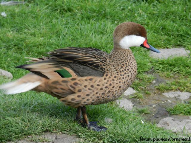 Forum plumes d 39 ornement le pillet des bahamas - Bassin canard d ornement pau ...